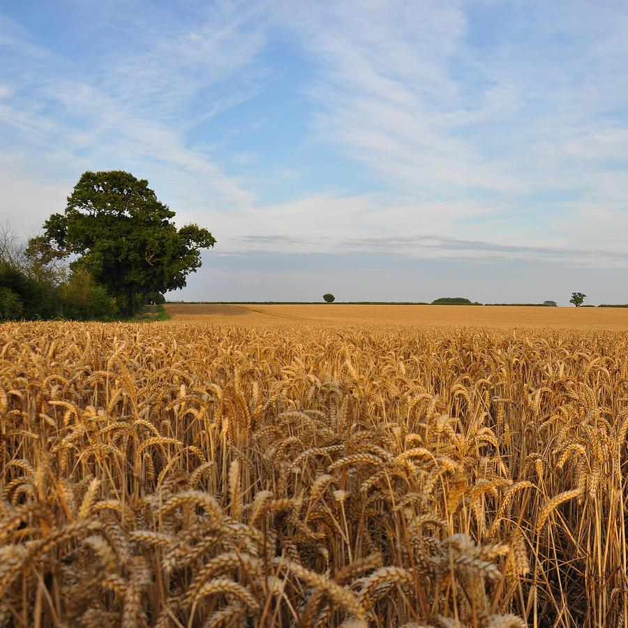 Suffolk Wheat Field